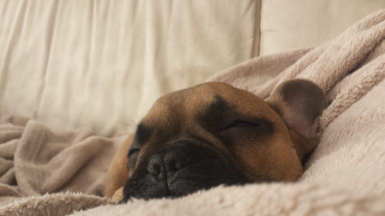 Franse-bulldog-pup-Max
